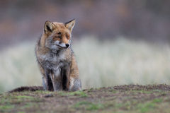 Red Fox relaxing Stock Photography