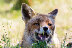 Red fox relaxing in grass Stock Images