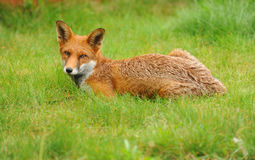 A red fox resting on grassland. Royalty Free Stock Photo