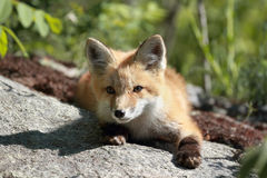Red fox resting Royalty Free Stock Photography