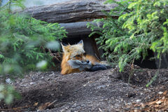 Red Fox resting in the Wood Stock Photography