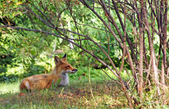 Red fox rests in the woods Stock Photos