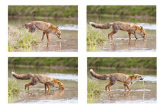 Red fox on river Stock Images