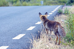Red fox  in the road Royalty Free Stock Photo
