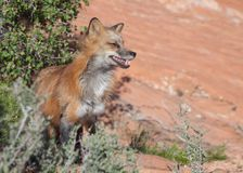 Red fox in red rock desert of Southern Utah looking out from the edge of some bushes. With it`s eyes half closed against the bright light stock image