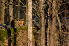 Red Fox on a rock. Red Fox dozing on a large boulder stock photography