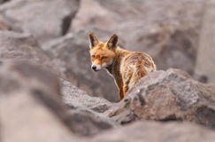 Red fox in rocks. Red fox among a pile of rocks.  Biological species:  Vulpes vulpes Stock Image