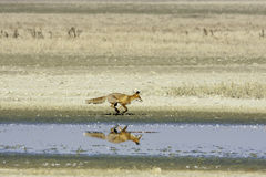 Red fox running along the shore of a lake / Vulpes vulpes Stock Photo