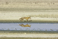 Red fox running along the shore of a lake / Vulpes vulpes Royalty Free Stock Images