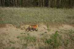 A red fox running along the side of the highway. Stock Images