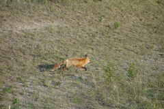 A red fox running along the side of the highway. Royalty Free Stock Photos