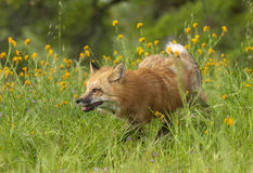 Red fox running in green grass and  yellow flowers on spring day Royalty Free Stock Photos