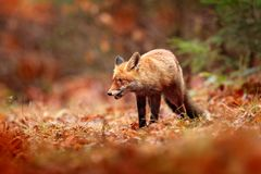 Red fox running on orange autumn leaves. Cute Red Fox, Vulpes vulpes in fall forest. Beautiful animal in the nature habitat. Wildlife scene from the wild royalty free stock photos