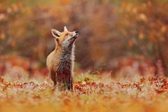 Red fox running on orange autumn leaves. Cute Red Fox, Vulpes vulpes in fall forest. Beautiful animal in the nature habitat. Wildlife scene from the wild royalty free stock image