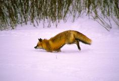 Red Fox Running Through Snow Stock Photo