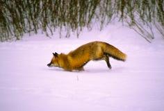 Red Fox Running Through Snow Stock Photo