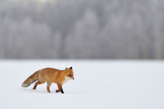 Red fox running in winter Royalty Free Stock Images
