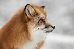 Red Fox. A Scandinavian Red Fox in its long winter coat Stock Photo