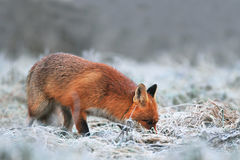 Red fox searching for food on a frost covered field. Photo of red fox, searching for food on a frost covered field Stock Photo