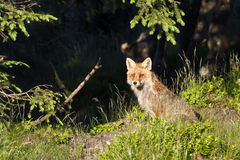Red fox seating in deep grass, Vosges, France Royalty Free Stock Image