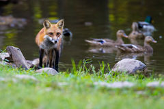 Red Fox on the shore. Red fox on a pond bank with mallards Stock Photography