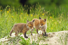 Red fox siblings Royalty Free Stock Image