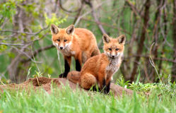 Red Fox Siblings. Gorgeous red fox kits near their den by the Grand River in Dunnville, Ontario, Canada royalty free stock photo