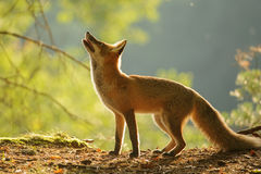 Red fox from side in beauty autumn backllight Royalty Free Stock Photo