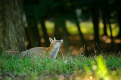 Red fox from side looking up to the treetop Royalty Free Stock Images