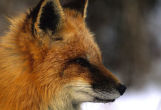 Red Fox Side Portrait Royalty Free Stock Photography