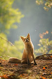 Red fox siitng in backlight during Indian summer stock photo