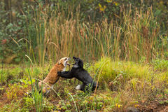 Red Fox and Silver Fox (Vulpes vulpes) Fight Stock Photography