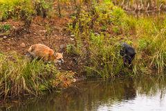 Red Fox and Silver Fox (Vulpes vulpes) on Shoreline Royalty Free Stock Photo