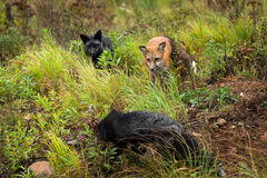Red Fox and Silver Fox (Vulpes vulpes) Closely Watch Third Fox Royalty Free Stock Photos