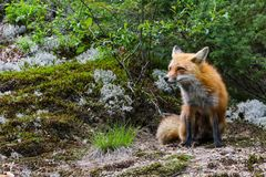Red Fox Sits and Stares in a Field Clearing stock photos