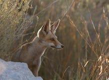 Red fox side portrait against lighting stock image