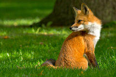 Red Fox. Sitting comfortably on a manicured lawn. Rosetta McClain Gardens, Toronto, Ontario, Canada stock photography
