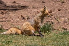 Red Fox. A red fox sitting in the grass Royalty Free Stock Photo