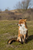 Red Fox. Sitting on grass Stock Photography
