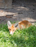 Red fox sitting in the grass Stock Photos