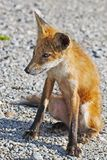 Red Fox Sitting on the Road Stock Photos