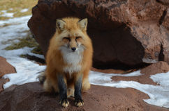 Red Fox Sitting on a Rocky Out Cropping. Red fox perched on a pile of rocks Royalty Free Stock Images
