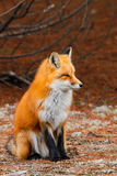 Red Fox Sitting Royalty Free Stock Photo