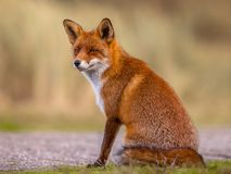 Red fox sitting and waiting Royalty Free Stock Photos