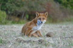 Red fox. Sitting and watching Royalty Free Stock Image