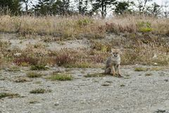 Red fox sitting. Patagonia, Argentina royalty free stock photography