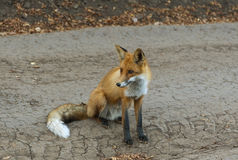 Red fox sitting. Royalty Free Stock Image