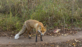 Red fox sitting. Royalty Free Stock Photography
