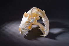 red fox skull Royalty Free Stock Image