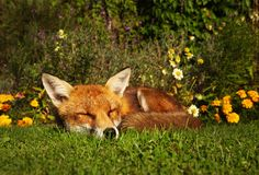Red fox sleeping in the garden with flowers. Summer in UK Royalty Free Stock Image
